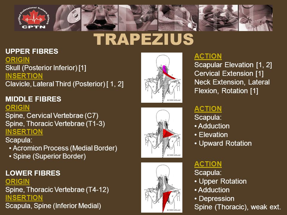 TRAPEZIUS UPPER FIBRES ACTION Scapular Elevation [1, 2]